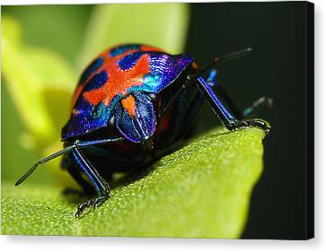 Stink Bug 007 Canvas Print by Kevin Chippindall