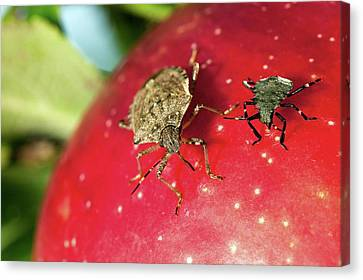 Stink Bug Adult And Nymph Canvas Print by Stephen Ausmus/us Department Of Agriculture