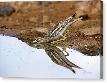 Stone-curlew Burhinus Oedicnemus Canvas Print by Photostock-israel