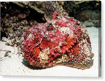 Stonefish After Shedding Cuticle Canvas Print by Georgette Douwma