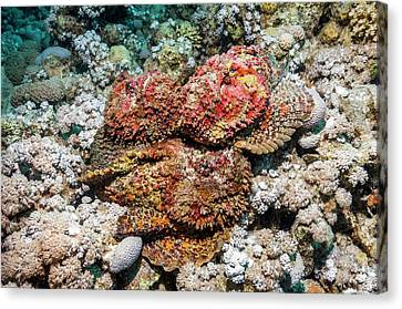 Stonefish Mating Congregation Canvas Print by Georgette Douwma