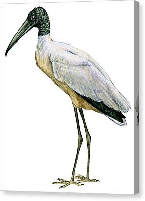 Stork Canvas Print by Anonymous