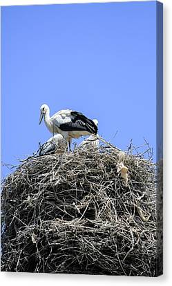 Storks Nesting Canvas Print by Photostock-israel