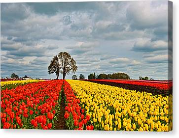 Storm Over Wooden Shoe Tulip Farm Canvas Print by Peter Dang