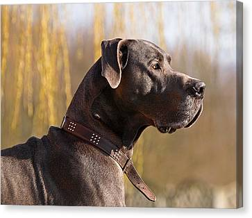 Storm The Great Dane Canvas Print by Gill Billington