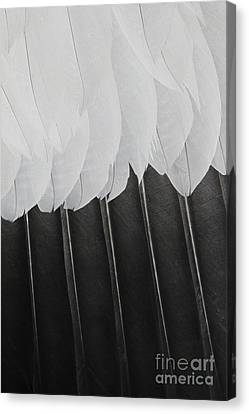 Stormy Feathers Canvas Print by Judy Whitton