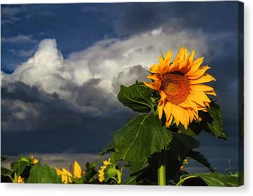 Stormy Sunflower Canvas Print by Juli Ellen