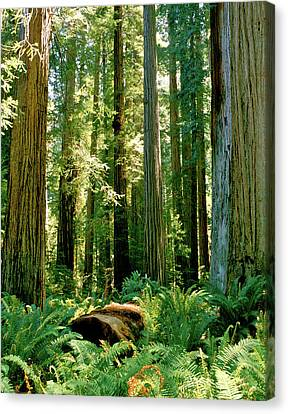 Stout Grove Coastal Redwoods Canvas Print by Ed  Riche