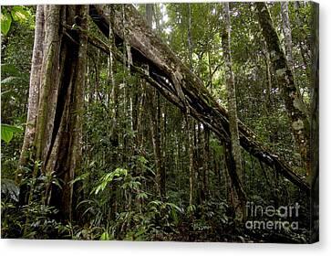 Strangler Fig In Amazon Rainforest Canvas Print