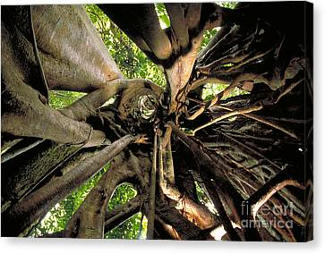 Strangler Fig Root Cage Canvas Print