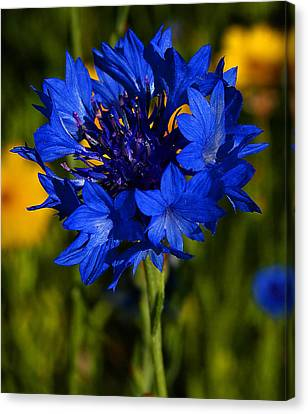 Straw Flower Canvas Print