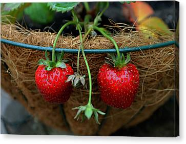Strawberries Canvas Print by Pamela Walton