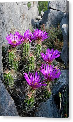 Strawberry Cactus (echinocereus Canvas Print by Larry Ditto