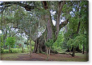 Canvas Print featuring the photograph Strawberry Chapel Oak by Linda Brown