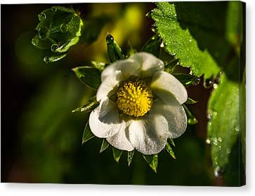 Strawberry Flower. Small Natural Wonders Canvas Print by Jenny Rainbow