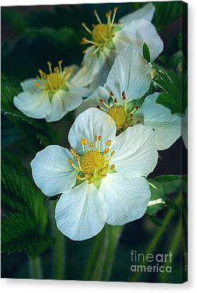 Strawberry Flowers Canvas Print by AmaS Art