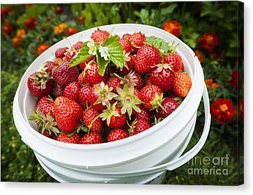 Strawberry Harvest Canvas Print
