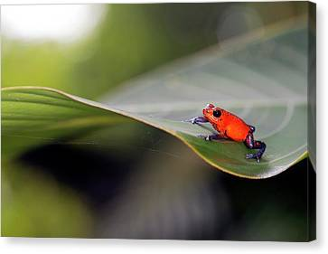 Strawberry Poison Frog Canvas Print