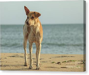 Stray Dog On The Beach Canvas Print by Patricia Hofmeester