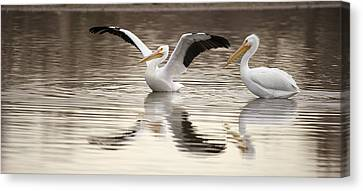 Flying White Pelicans Canvas Print - Streaching Its Wings  by Gary Langley