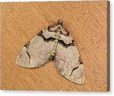 Streamer Moth Canvas Print by Nigel Downer