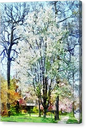 Street With White Flowering Trees Canvas Print by Susan Savad