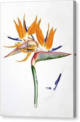 Strelitzia Reginae Flowers Canvas Print by Natural History Museum, London