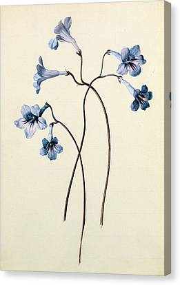 Streptocarpus Canvas Print by German School