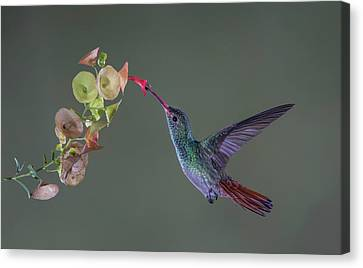 Humming Birds Canvas Print - Stretch by Greg Barsh