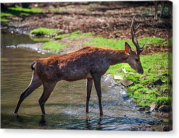 Stretching After Bathing. Male Deer In The Pampelmousse Botanical Garden. Mauritius Canvas Print by Jenny Rainbow