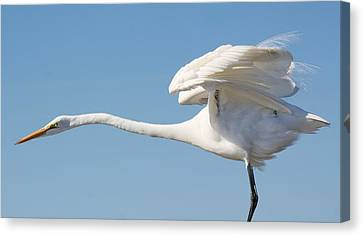Stretching Out Canvas Print by Paulette Thomas