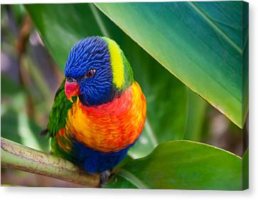 Striking Rainbow Lorakeet Canvas Print