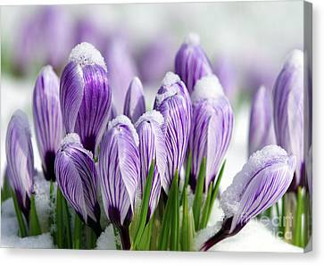 Striped Purple Crocuses In The Snow Canvas Print by Sharon Talson