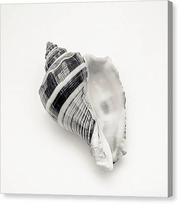 Striped Sea Shell 2 Canvas Print by Lucid Mood