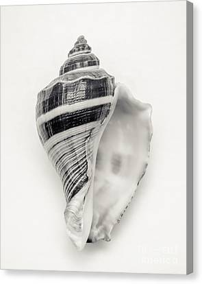 Striped Sea Shell Canvas Print by Lucid Mood