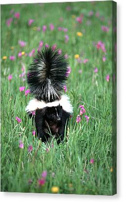 Striped Skunk (mephitis Mephitis Canvas Print by Richard and Susan Day