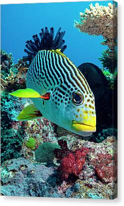 Reef Fish Canvas Print - Striped Sweetlips On A Reef by Louise Murray