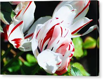 Striped Tulips Canvas Print by Don Mann
