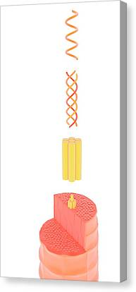 Helical Canvas Print - Structure Of Keratin by Science Photo Library