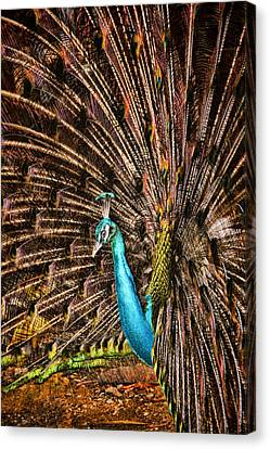 Strutting Peacock Canvas Print by David Smith
