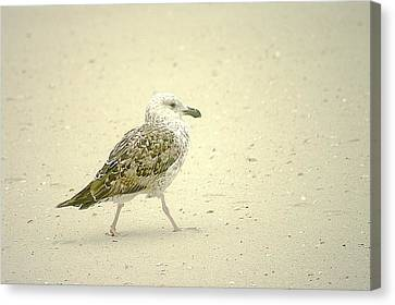 Canvas Print featuring the photograph Strutting Young Seagull  by Suzanne Powers
