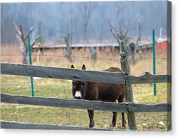 Stubborn As A Mule Canvas Print by Rhonda Humphreys