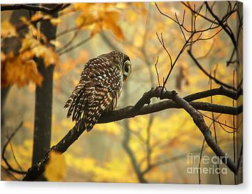 Stubborn Owl Canvas Print by Debbie Green