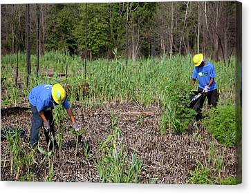 Students Removing Invasive Plants Canvas Print