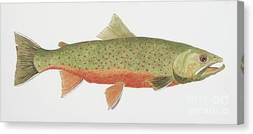 Canvas Print featuring the painting Study Of A Male Dolly Varden Char by Thom Glace