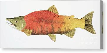 Study Of A Male Kokanee Salmon In Spawning Brilliance Canvas Print