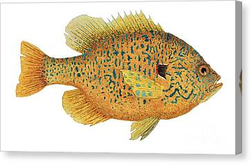 Study Of A Male Pumpkinseed Sunfish In Spawning Brilliance Canvas Print
