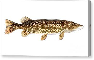 Study Of A Northern Pike Canvas Print