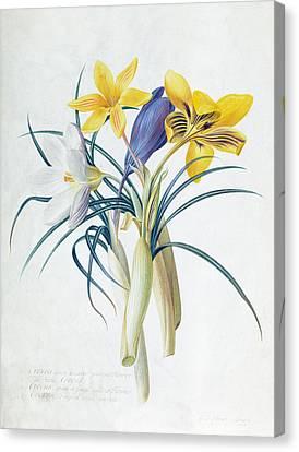Study Of Four Species Of Crocus Canvas Print by Georg Dionysius Ehret