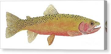 Study Of The Greenback Cutthroat Canvas Print
